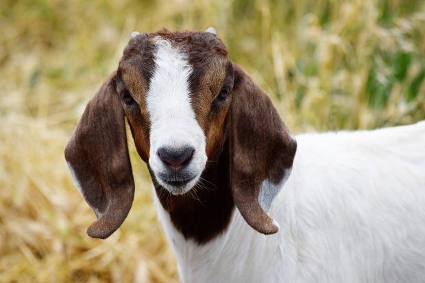 goat2016Ferguson