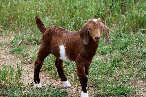 goatbaby16