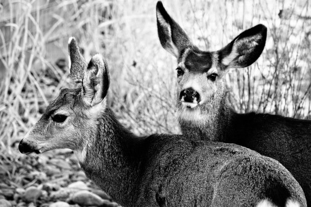 backyarddeer-copy-copy