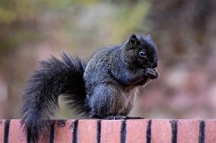 blacksquirrel-copy-copy